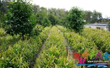 5年前大量种植的海南榴莲,现在产量如何?
