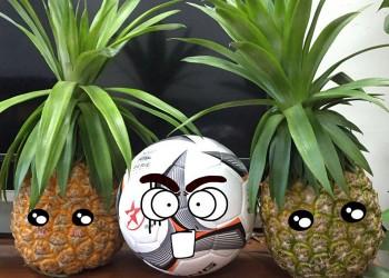 琼台1号菠萝