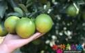 16块一斤!琼中绿橙为何这么贵?