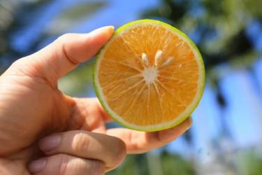 官宣!琼中绿橙将于10月26日正式上市