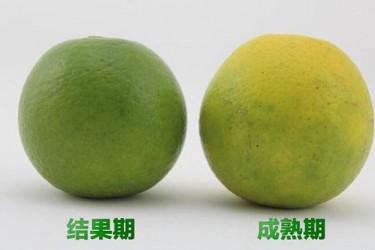 海南琼中绿橙