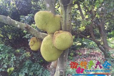 树菠萝为何不结果实?是什么原因造成的?