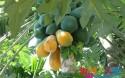 """商家标榜的""""树上熟""""水果,真的是在树上自然成熟的吗?"""