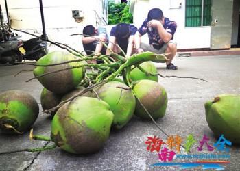 海南马路边随处可见的椰子,真的可以随便摘吗?