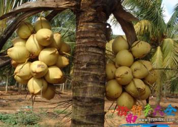 海南三大椰子新品种介绍,你都吃过吗?