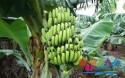 海南香蕉产地分布介绍,你想知道的都在这里!