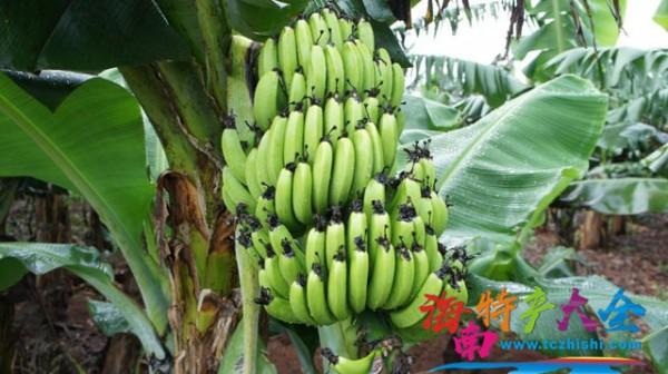 为什么人在海南,却要吃全国最贵的香蕉?