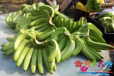 海南香蕉主栽品种介绍,你都见过哪些?