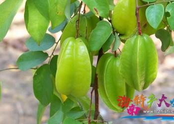 海南杨桃是一种怎样的存在,你真的懂它吗?