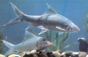 五指山淡水石鲮鱼