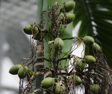 未成熟的槟榔果