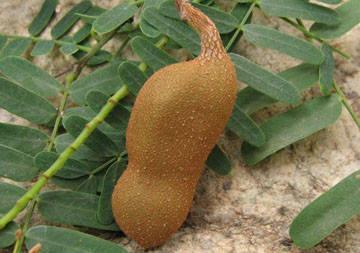 酸豆,也叫酸角
