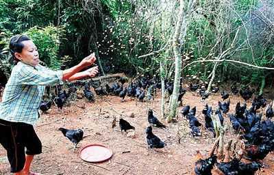 雄起合作社工作人员喂食黑羽乌骨鸡