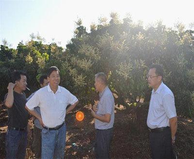 白沙县政协副主席林世欣认真地交流反季节龙眼种植经验