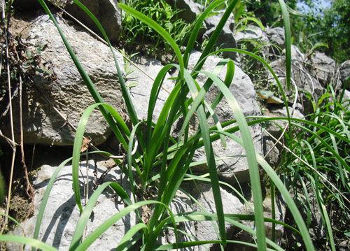生长在石缝中的野韭菜