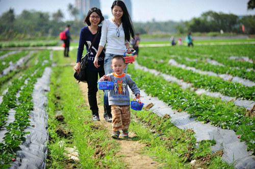 海南省琼海市的草莓到了丰收时节,吸引了众多游客前来采摘