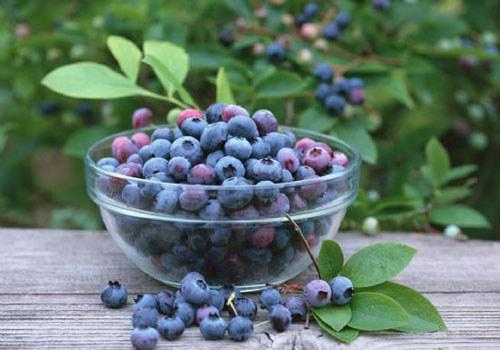 五指山蓝莓