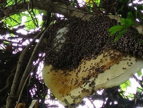 树林中的排蜂