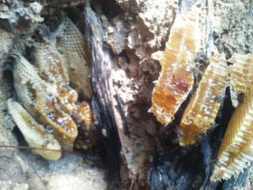 五指山石缝中的土蜂蜜