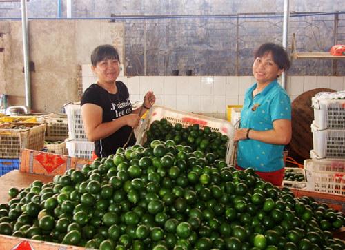 东昌农场柠檬成批采摘上市
