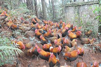 霸王岭山鸡