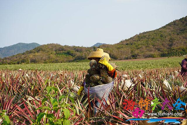 农户在采摘金菠萝