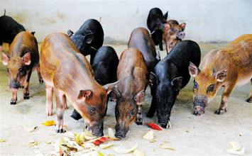 昌江特种野猪