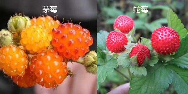 茅莓与蛇莓