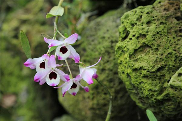 火山石斛花