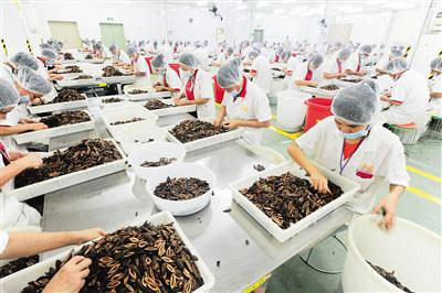 万宁的工人正在加工、包装槟榔产品