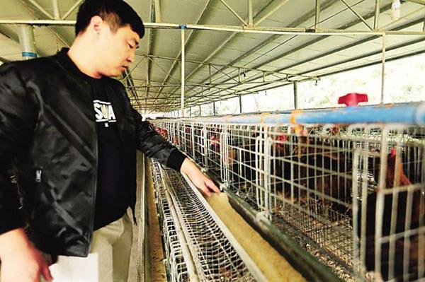 丁保卫正在标准化鸡舍照料山鸡