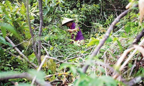 藤一般生长在茂密的林木中,苏光必老人在山上采藤