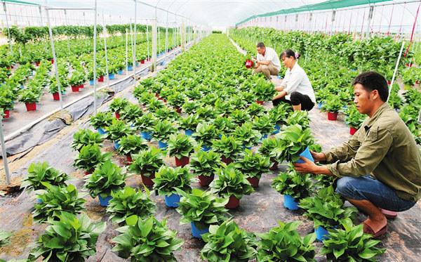 东方绿萝种植基地