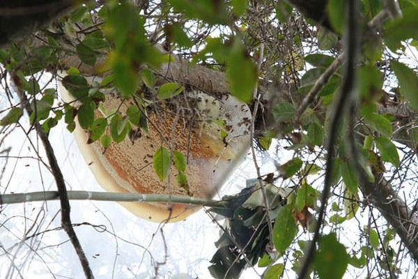 挂在树上的排蜂蜜