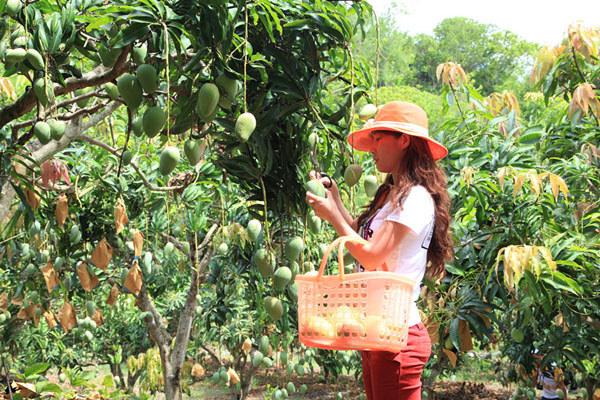 游客采摘芒果