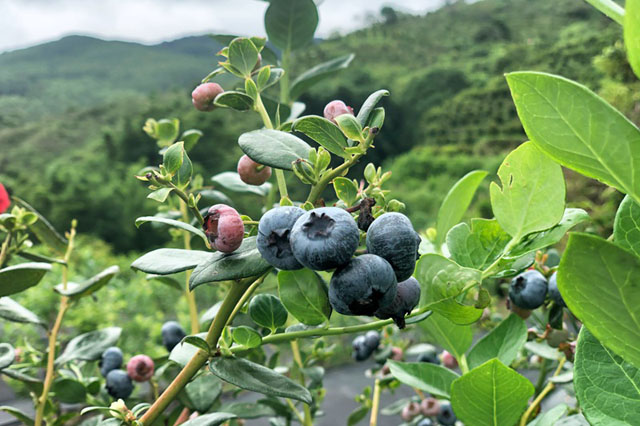 宋金梅家田园里的蓝莓