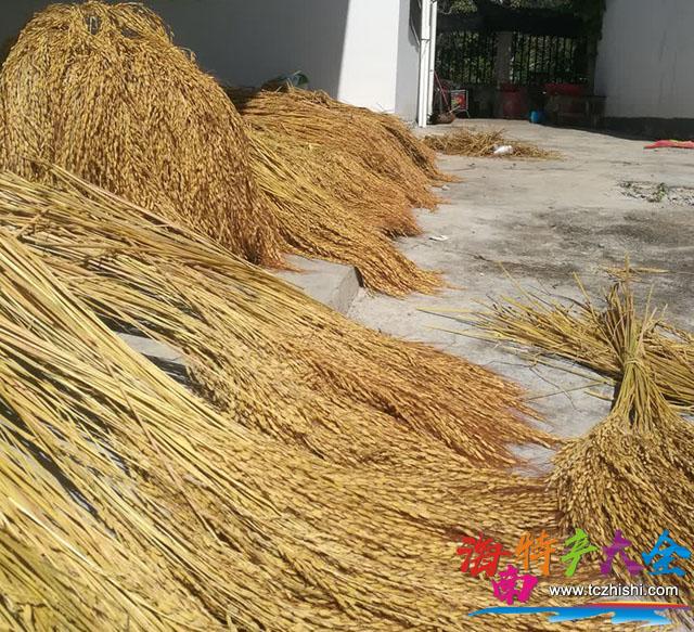 正在晾晒的山兰稻米