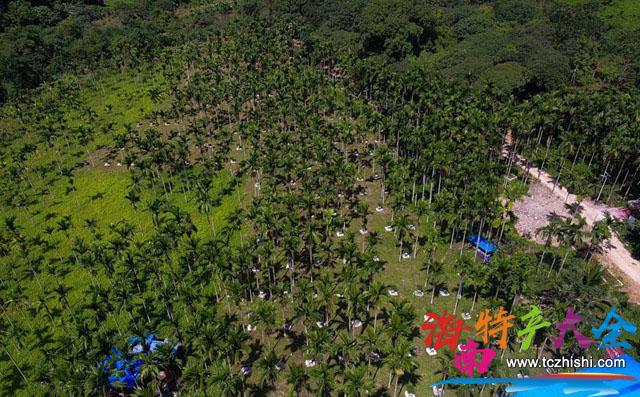 鸟瞰海南槟榔园