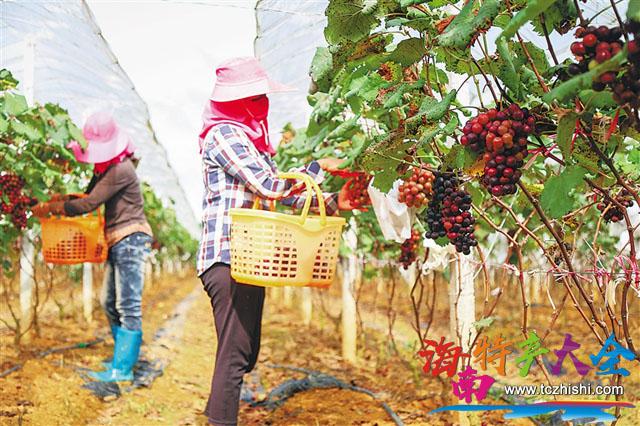 基地工人采收七叶葡萄