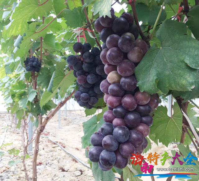 已经成熟的七叶葡萄
