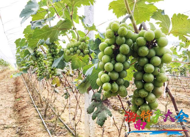 未成熟的七叶葡萄