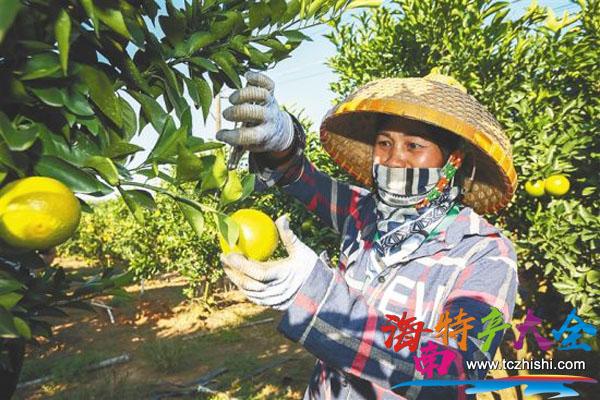 果园工人采摘白沙红心橙