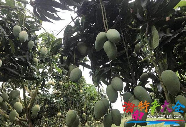 未成熟的海南芒果