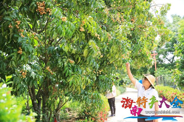 儋州大成黄皮迎来采摘季