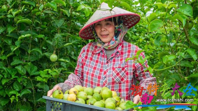种植农户手捧收获的百香果