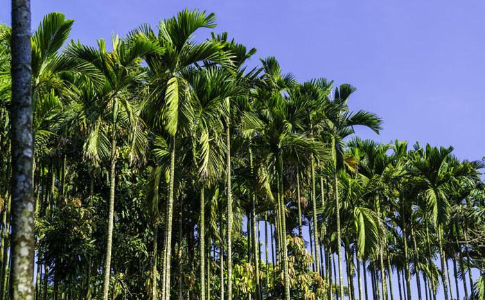 槟榔在海南是怎样的一种存在?真的那么好吃吗?