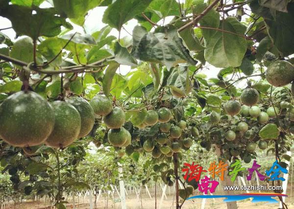 白沙荣邦乡百香果种植地
