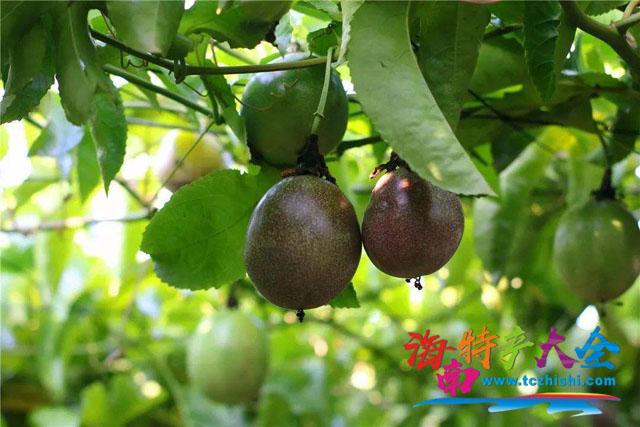 海南百香果三大品种介绍,你想知道的信息都在这里!