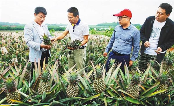 澄迈金江镇工作人员正在察看凤梨成熟度