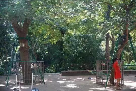 天价!海口人民公园两株花梨树拍出1428.2万元